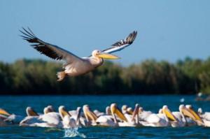 pelicani-delta-dunarii